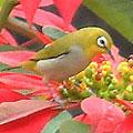 圖4:機伶可愛的綠繡眼也來吸花蜜…