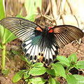 圖5:這隻大鳳蝶雌蝶是無尾型的。有尾和無尾,你比較喜歡哪一種呢?