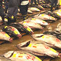 許多國家的經濟仰賴野生漁業。圖為日本鮪魚市場。