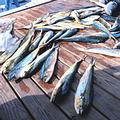 北卡羅來納漁船補抓到的黃鰭鮪魚