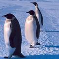 南極的國王企鵝(圖片來源: NOAA)