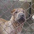 北京停止捕殺大型狗(圖片來源: Sirius GAO)