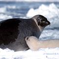 格陵蘭海豹