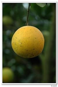 一顆顆黃澄澄的柳丁,包含著太多珍惜土地的芬芳