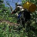 女農阿寶1