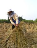 稻田(攝影:李疾)