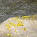 鐵刀木的黃色小花