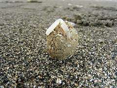大杓鷸吐出來的食繭夾帶一支蟹類完整的螯腳