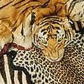 虎皮和豹皮商品市場價格非常高(圖片來源:WWF)
