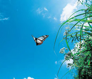 青斑蝶 (攝影: 佐藤英治)