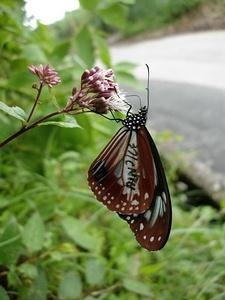 大屯山車道標記青斑蝶