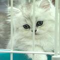 各種品種的貓咪,生活在不同標價下的櫥窗
