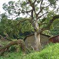 遭填廢土的百年老樟樹,已不復以往枝繁葉茂。林松億攝