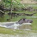 南美最大型的哺乳動物亞馬遜貘(圖片來源:Ecuador-Travel.net)