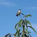 烏頭翁站在果樹枝頭
