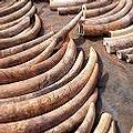 2006年5月於香港海關所查扣的600多支象牙,是自1989年以來查獲數量最多的一次 :: 照片來源:IFAW