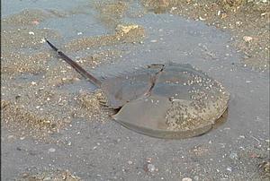 有著活化石之稱的鱟。圖片來源:我們的島