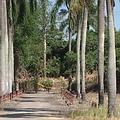 高大的椰子樹作為行道樹,是溫帶地區民族對南國的想像