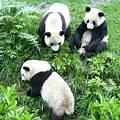 中國野生熊貓;圖片來源:四川中國國際旅遊服務