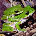 諸羅樹蛙,雌蛙帶著雄蛙到落葉底下產卵