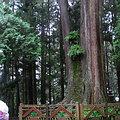 阿里山神木群是觀光熱門景點。