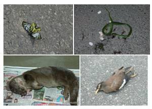 蝴蝶、抱卵青蛇、水獺、鳥類皆是動物車禍的受害者。