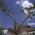 我們應該種小樹,也要尊重老樹。圖片來源:貢寮鄉尖山腳街榕樹,吳志學攝