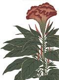 《本草圖譜》珍貴植物畫(圖片取自書籍介紹網頁)