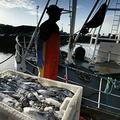 正在卸漁貨的蘇格蘭漁夫。圖片來源:Murdo Macleod