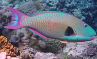 鸚哥魚大餐 使珊瑚礁深陷危機