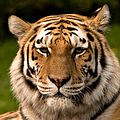 生存於印度國家公園的老虎 (圖片來源 : Anup Jinda)