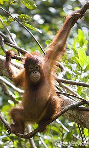 紅毛猩猩受森林砍伐喪失棲地而面臨滅絕;圖片來源:Greenpeace,Natalie Behring攝