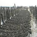台西外海上百公頃的蚵田,是台灣最重要的牡蠣養殖區
