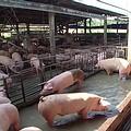 全台灣豬隻共700萬頭;圖片來源:我們的島