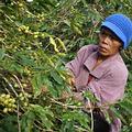 咖啡農婦。圖片來源:吳子鈺