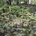 在没有人為干擾的環境下,紅樹林的小苗就可以自然的更新。圖片來源:基因生萬物