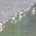 到彰化海濱度冬的黑腹濱鷸高達上萬隻