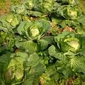 高麗菜園。圖片來源:Showming