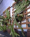 溫室中巨大的鹿角蕨收藏