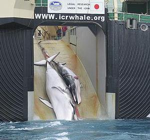 二隻死亡鯨魚被拖上日本捕鯨船。圖片來源:澳洲海關。