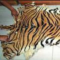 在印尼非法的虎皮。圖片來源:TRAFFIC