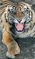 動物園內因陷阱受傷的蘇門答臘虎。圖片來源:ENS