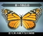帝王斑蝶是北美最大的蝴蝶