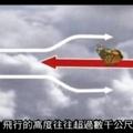 帝王斑蝶必須善用氣流飛行,節省旅途中體力耗費