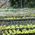 位於古巴首都哈瓦那的都市菜園。圖片來源:James Pagram