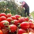 台南縣鹽水鎮的小番茄