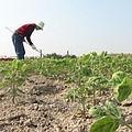 政府鼓勵休耕,條件是必須種植綠肥