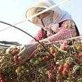 李永祥的小番茄園