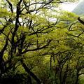 山毛櫸春天的翠綠貌