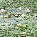 水雉是農民口中的菱角鳥